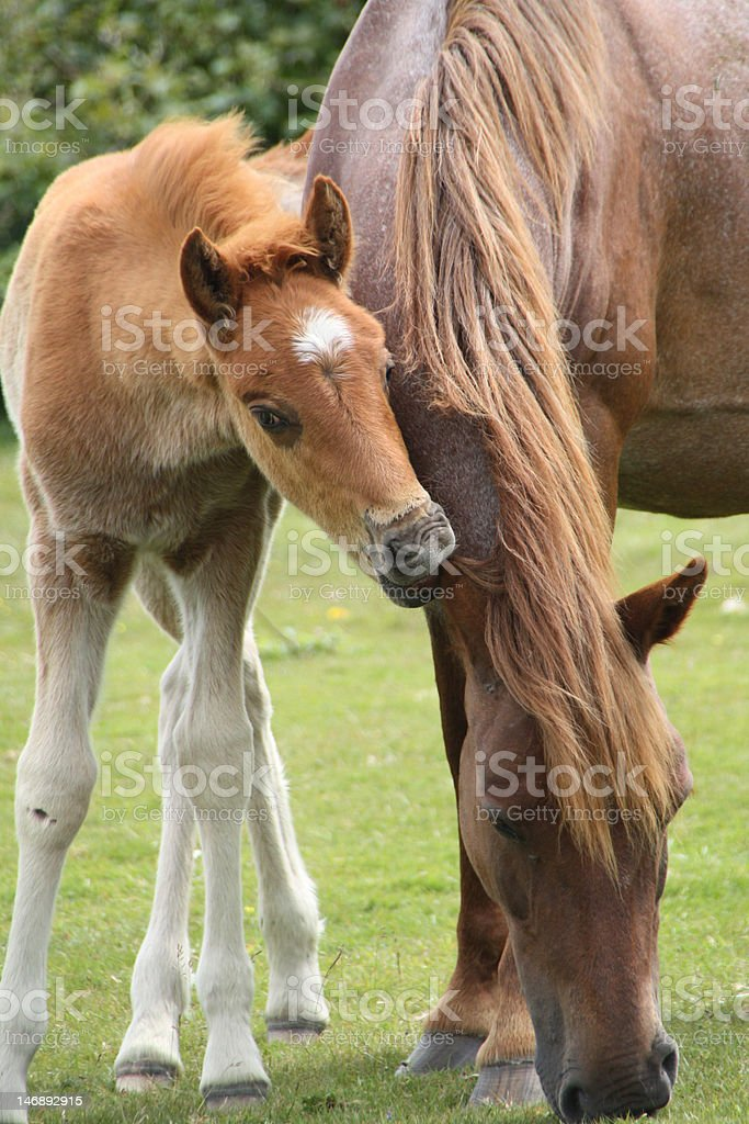 foal nibbles mares ear royalty-free stock photo