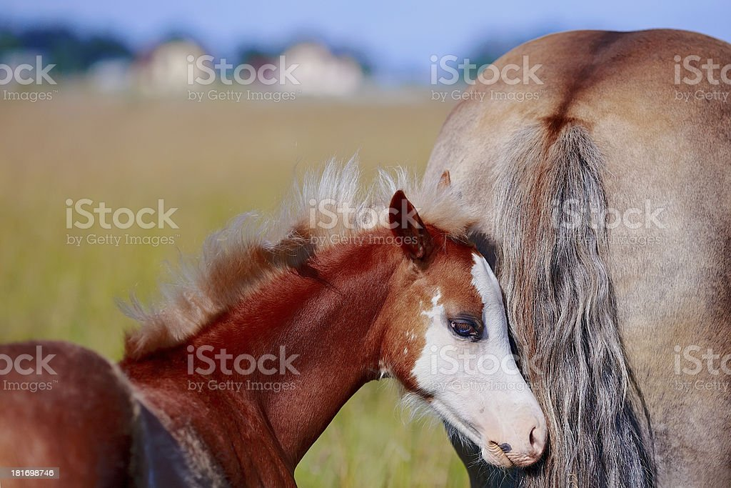 Foal on a meadow. royalty-free stock photo