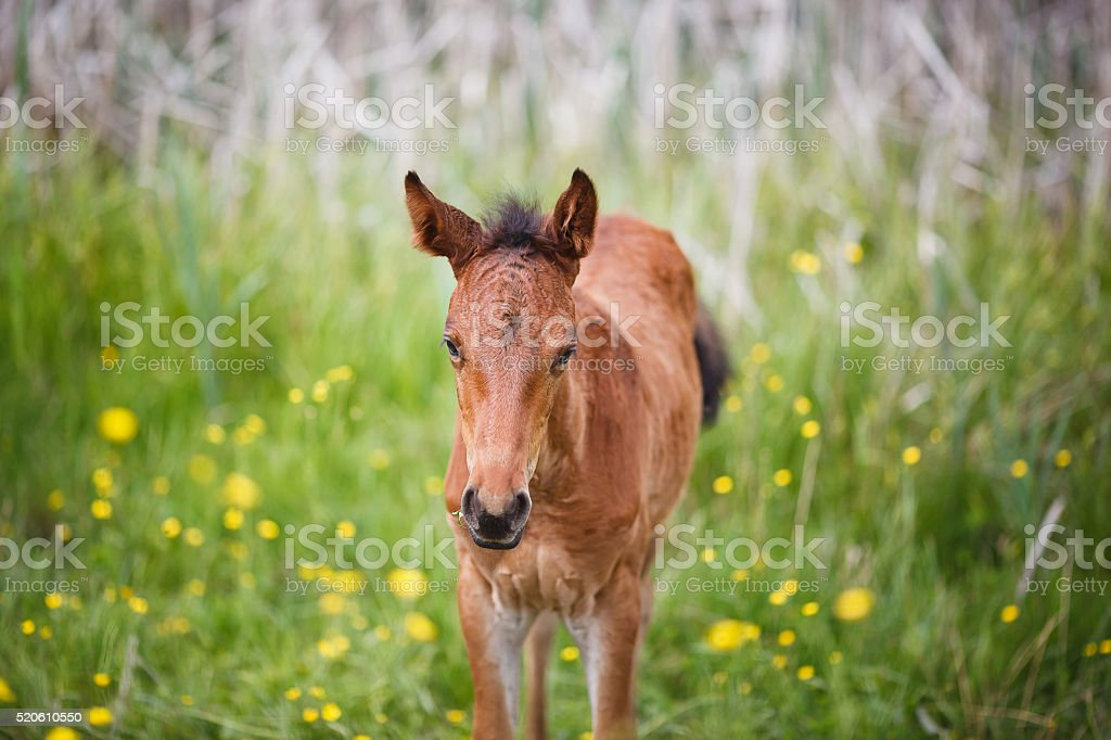 Foal on meadow stock photo