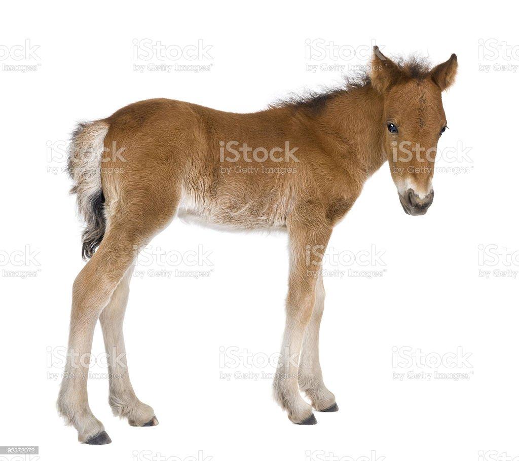 Foal (4 weeks old) stock photo