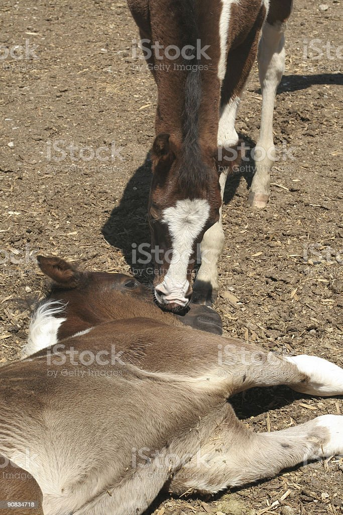 Foal Rousing Another royalty-free stock photo