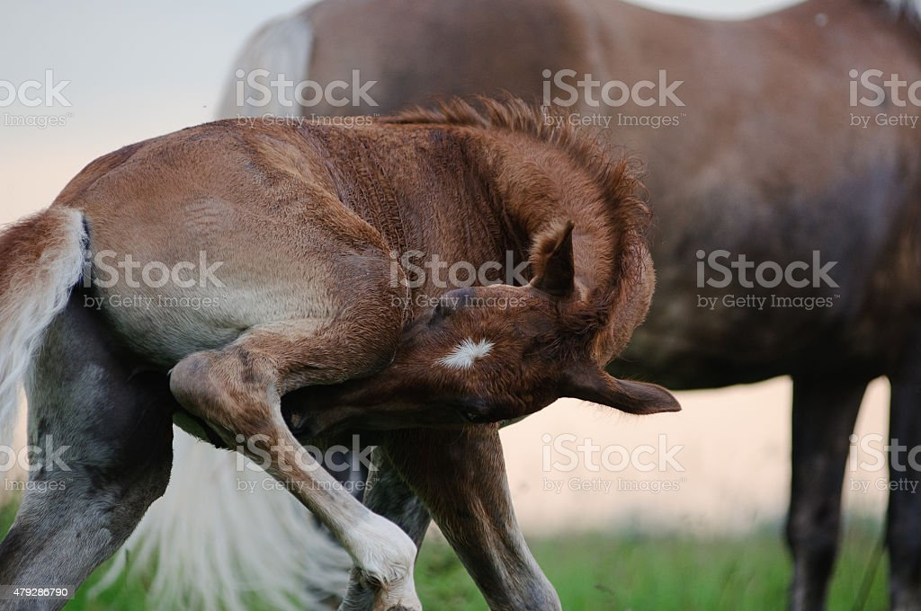foal scratching himself stock photo