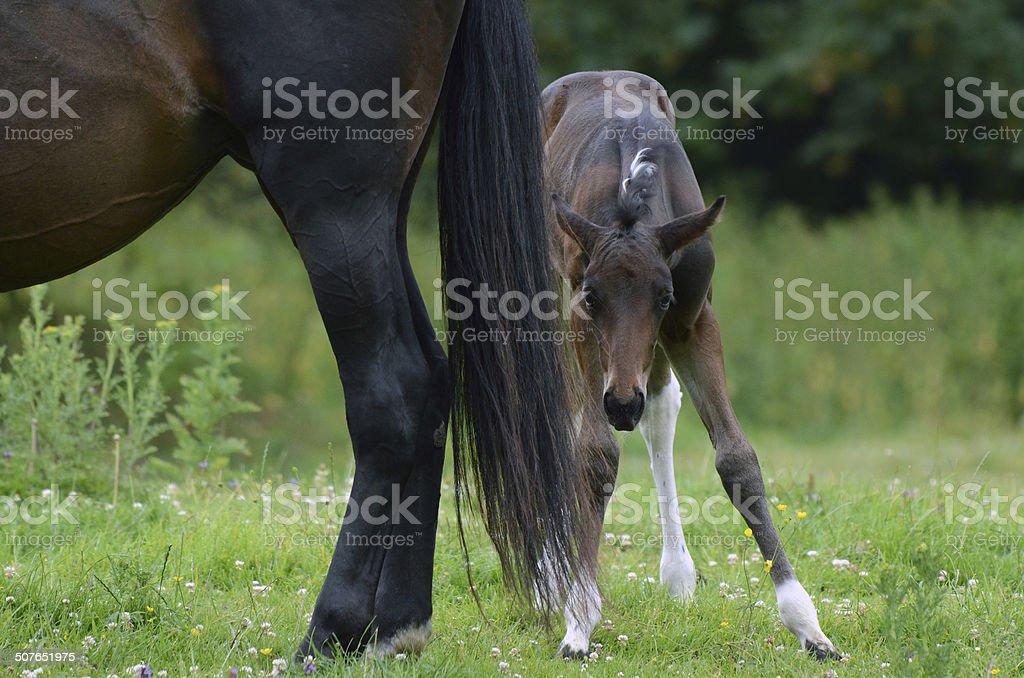 Foal stare royalty-free stock photo