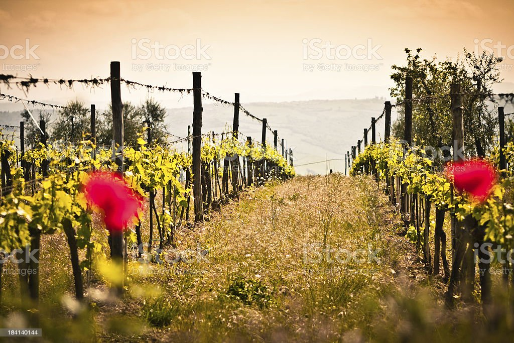 Focus on the Rows of Vines, Tuscan Wine Region royalty-free stock photo