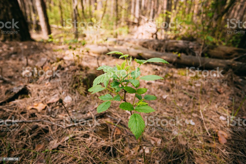 Focus On Vernal Sprout Of Wild Raspberries, Pushing Through Layer stock photo