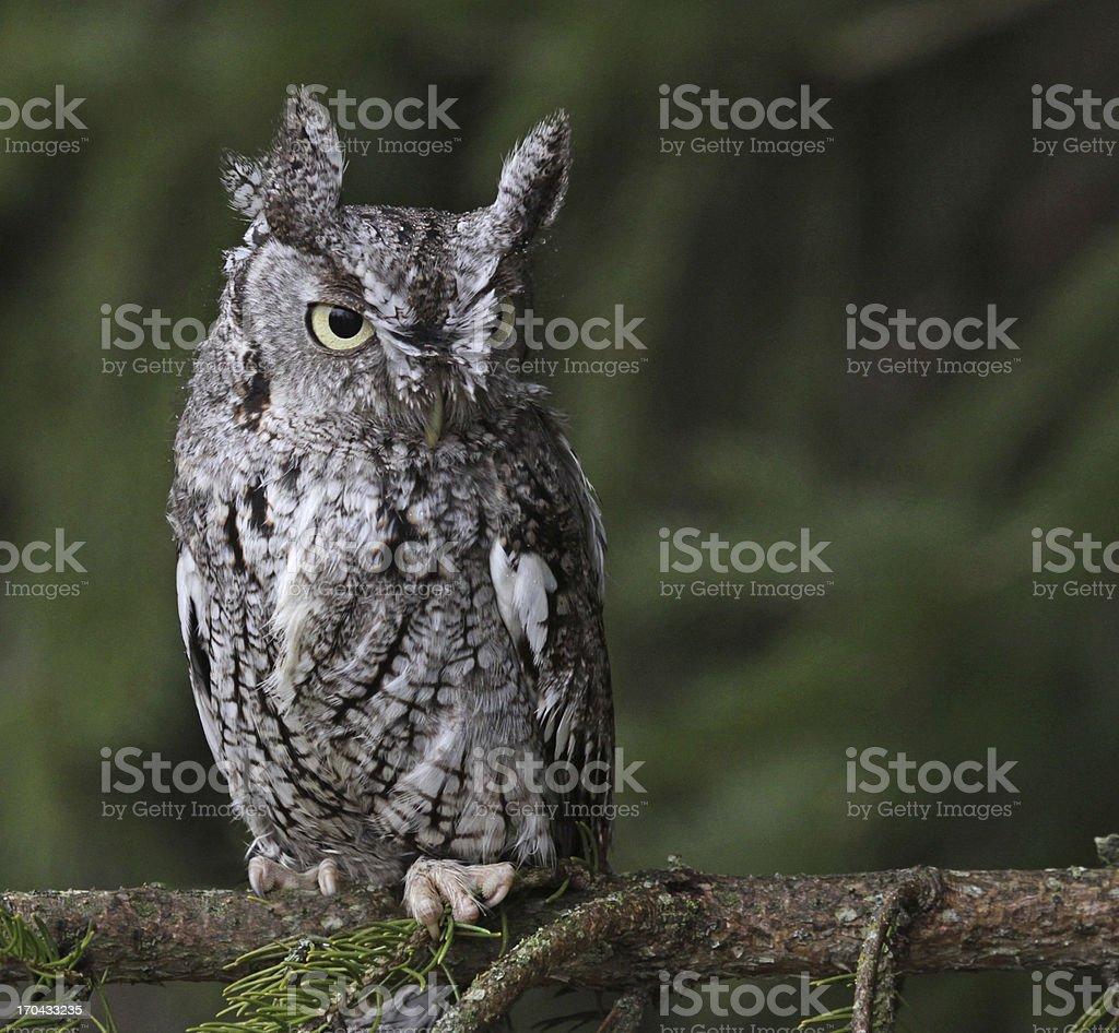 Focused Eastern Screech Owl stock photo
