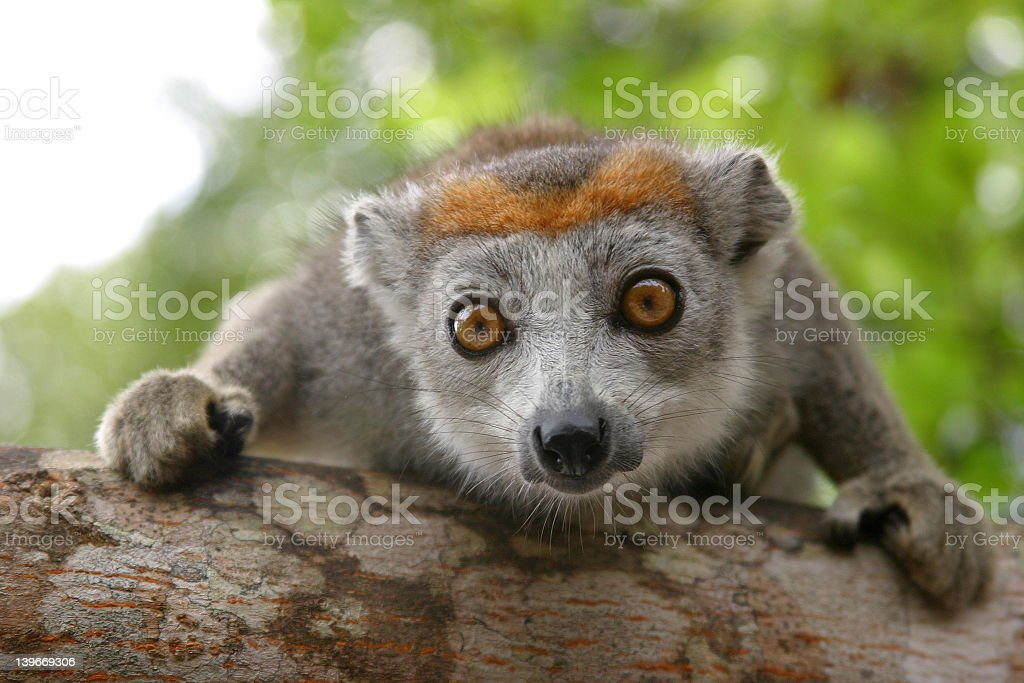 A focused shot of a crowned lemur stock photo