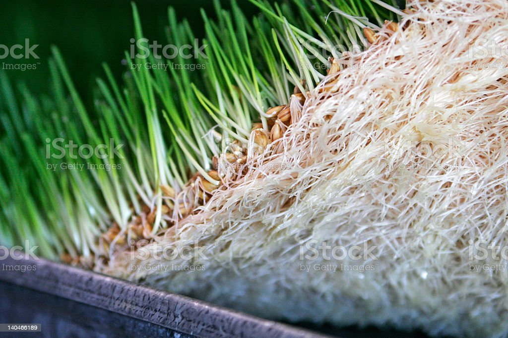 Fodder Root System royalty-free stock photo