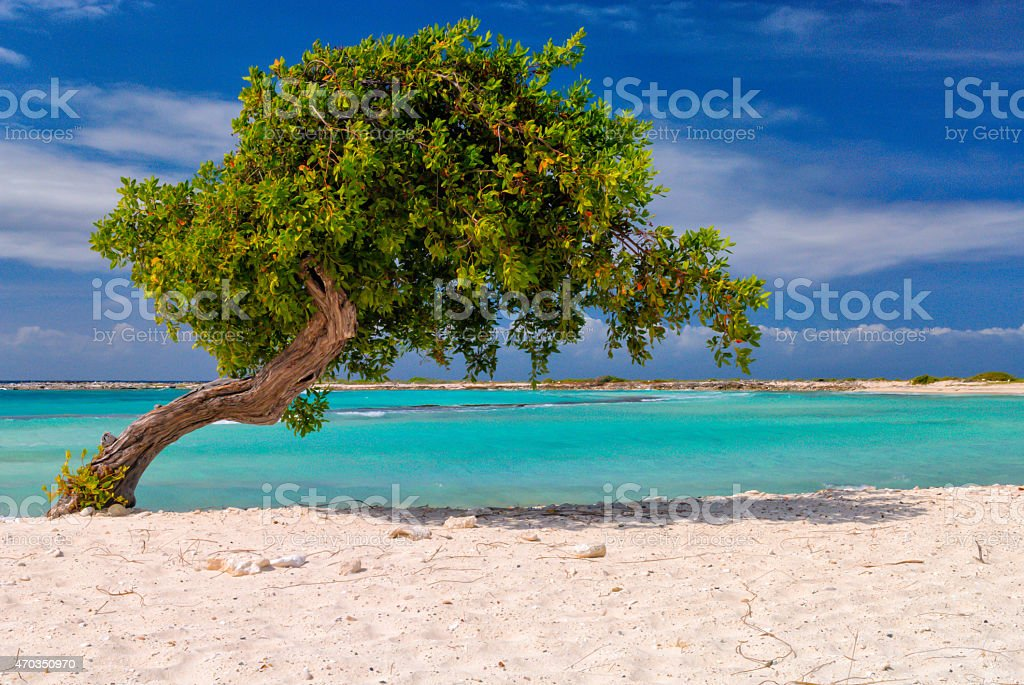 Fofoti Tree @ Baby Beach stock photo