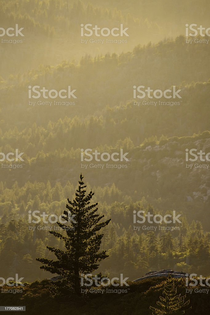 Fog and Pine Trees royalty-free stock photo