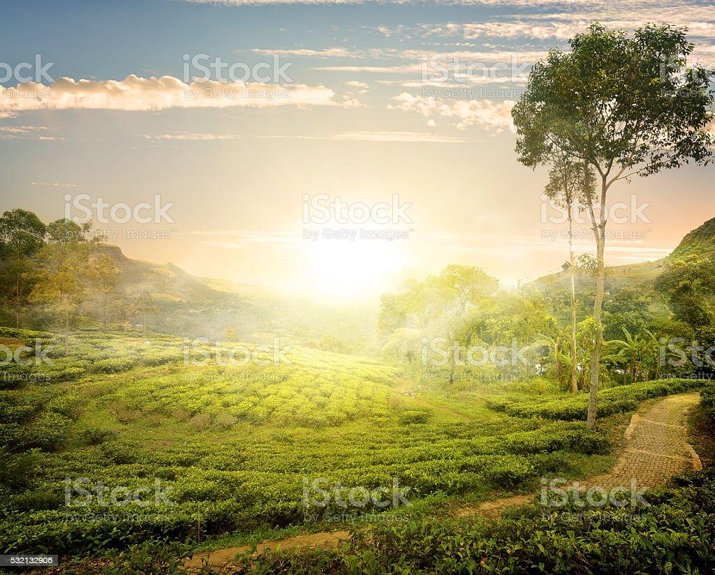 Fog and tea field stock photo