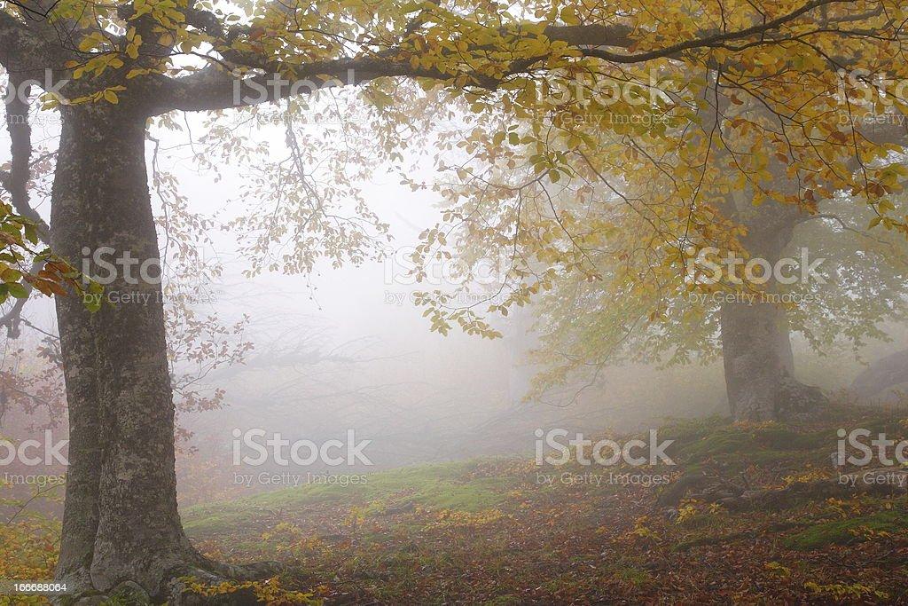 Fog in autumn beech forest. Crimea, Ukraine. royalty-free stock photo