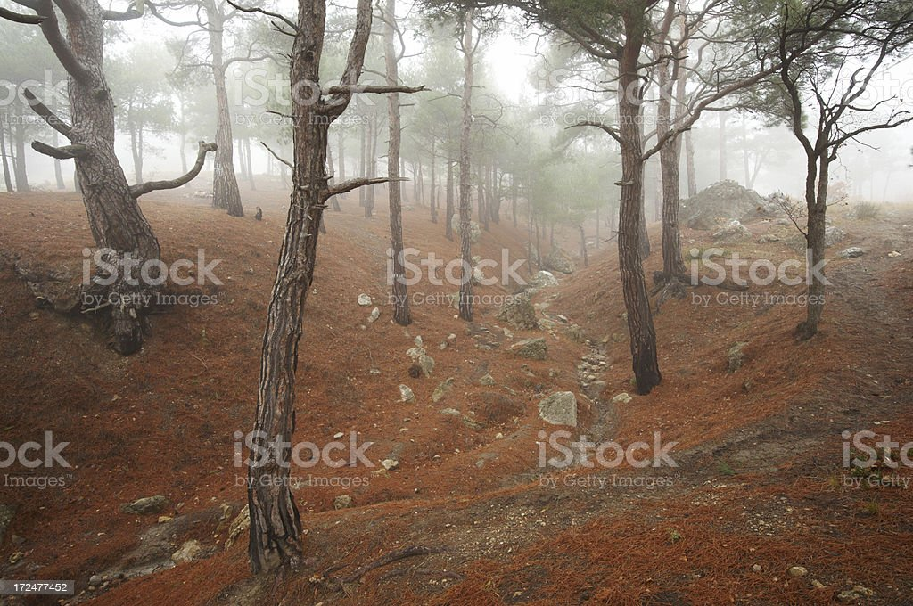 fog in coniferous forest royalty-free stock photo
