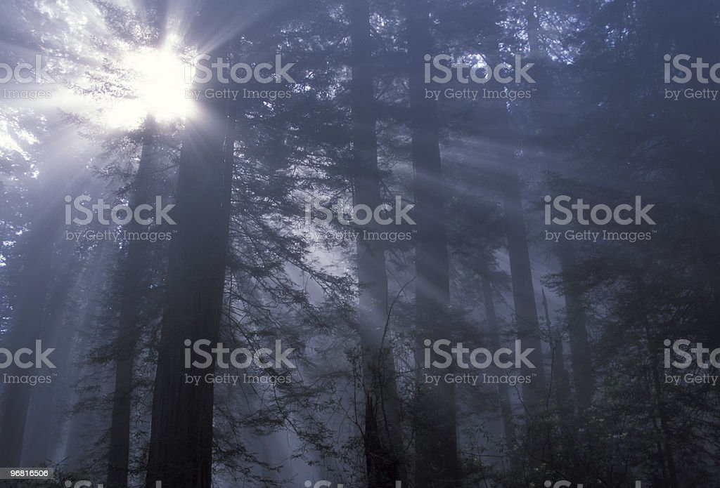 Fog in Redwood Forest royalty-free stock photo