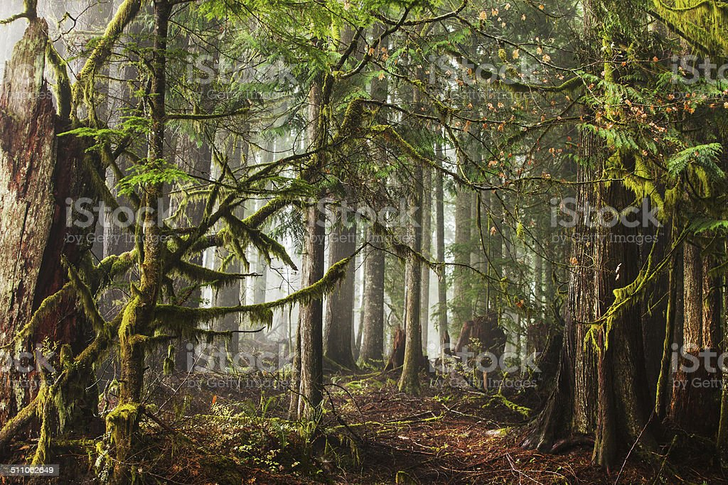 Fog in the Forest stock photo