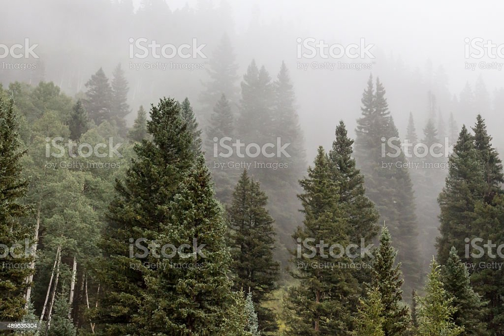 Fog over a pine and aspen forest stock photo
