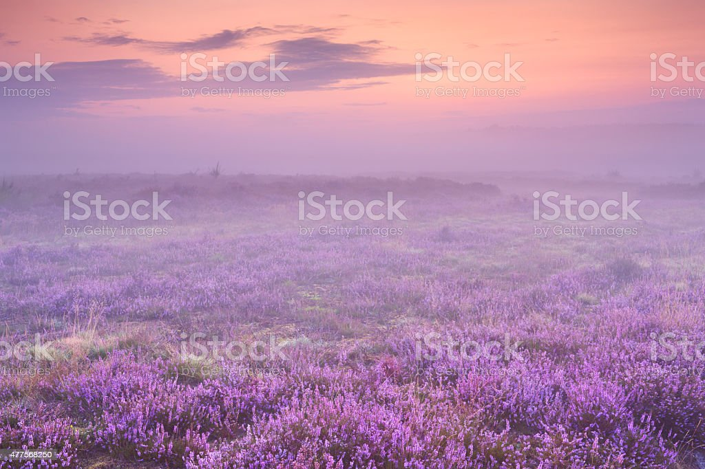 Fog over blooming heather near Hilversum, The Netherlands at dawn stock photo