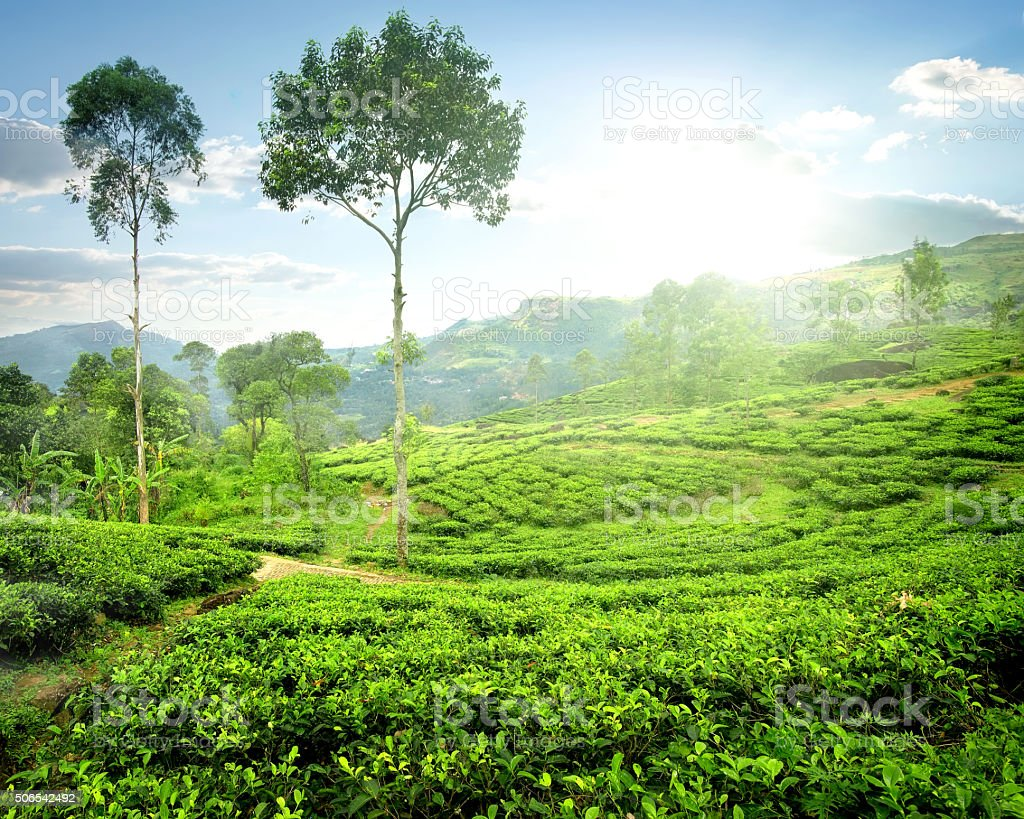 Fog over tea plantations stock photo