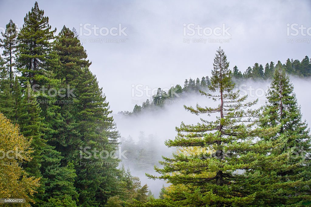 Fog Rolls Through Forest of Douglas Fir & Redwood Trees royalty-free stock photo