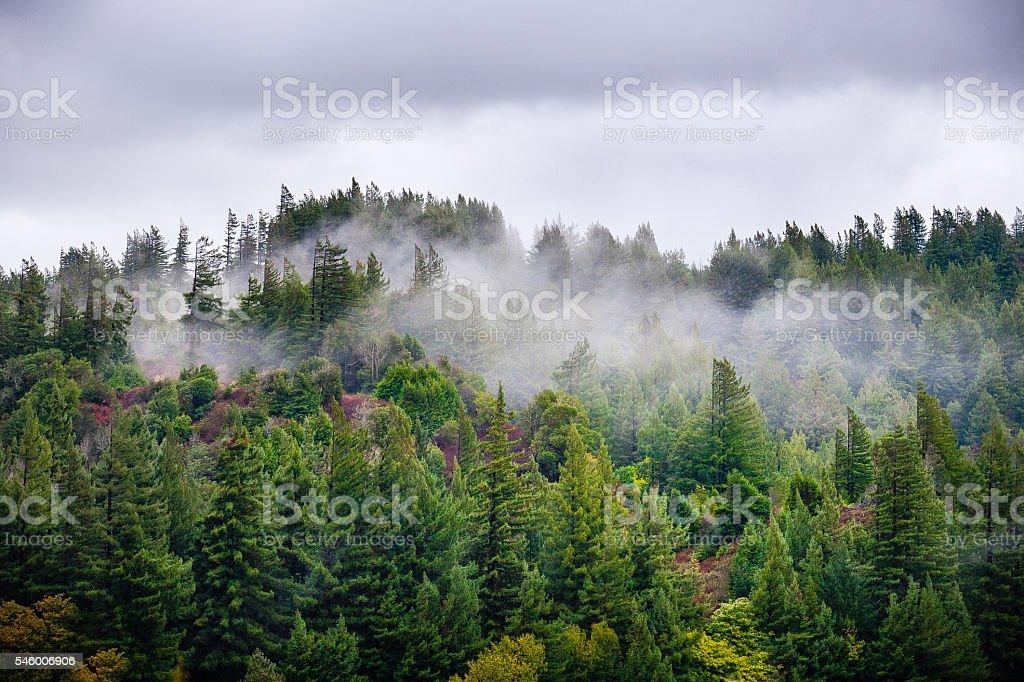 Fog Rolls Through Forest of Douglas Fir & Redwood Trees royalty-free stock photo