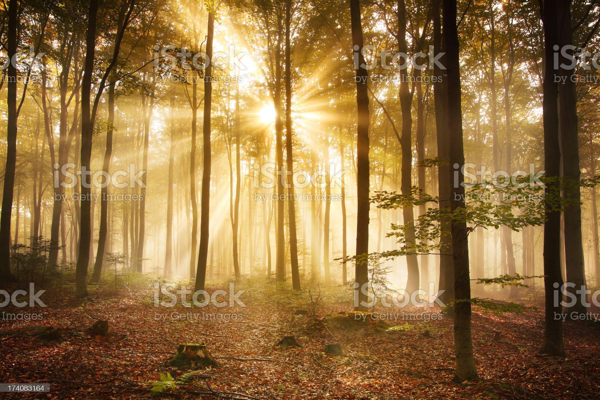 Foggy Autumn Forest - HDR XXXL Image royalty-free stock photo