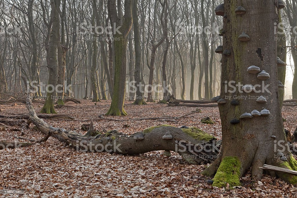Foggy forest in early morning light in The Netherlands royalty-free stock photo