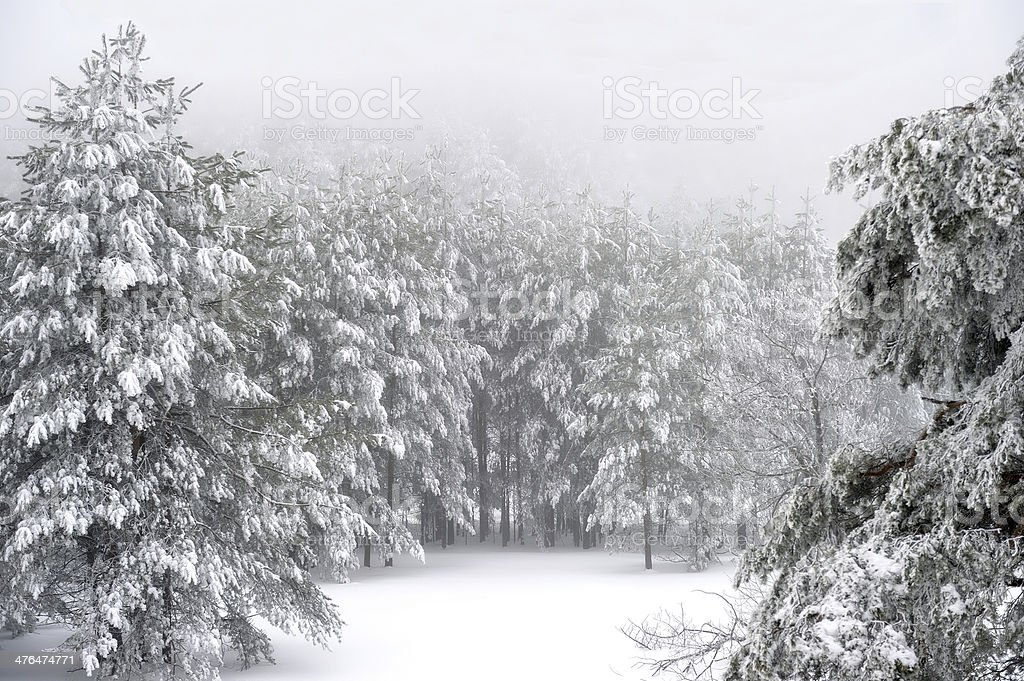 Foggy forest in winter royalty-free stock photo