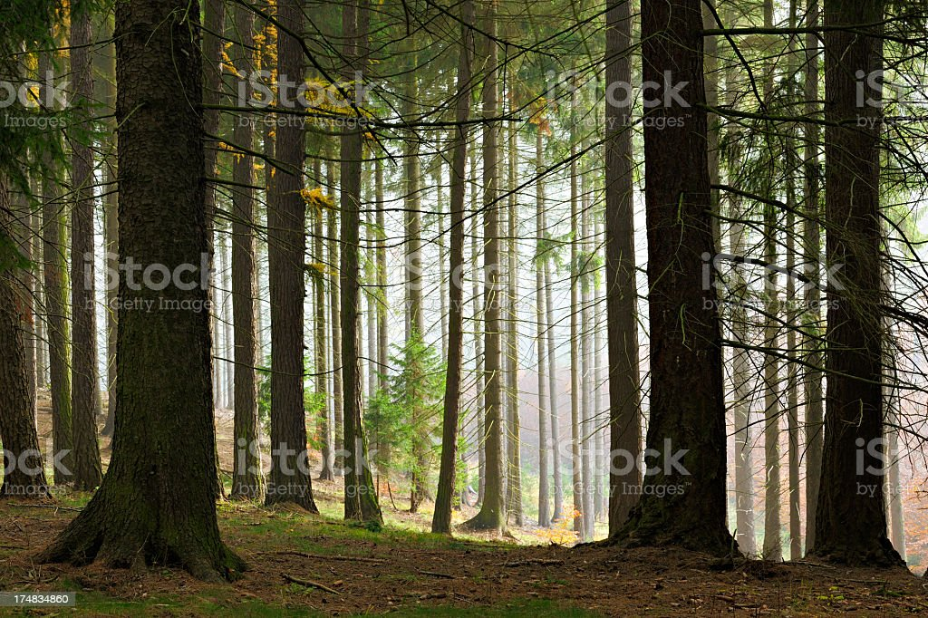 Foggy Forest of Old Spruce Trees royalty-free stock photo