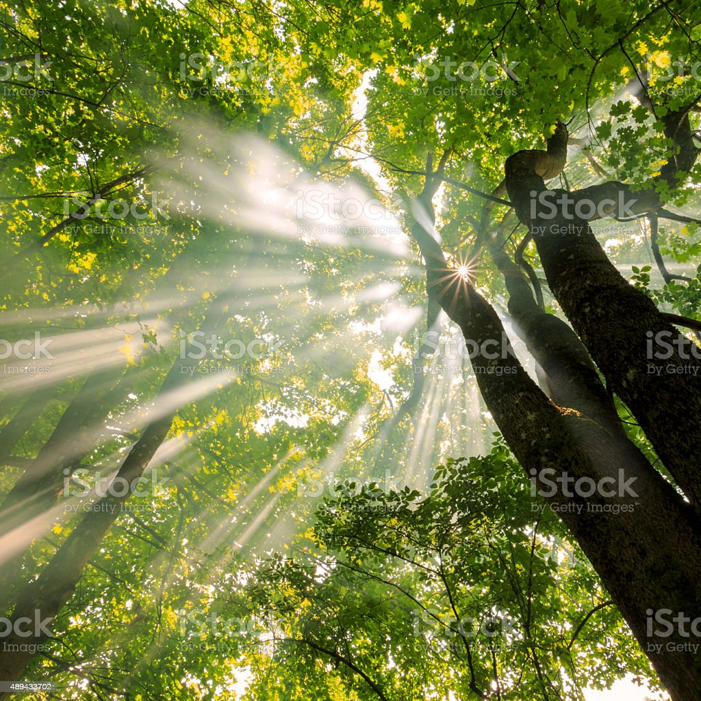 Foggy Forest With Awesome Light Rays Sun stock photo