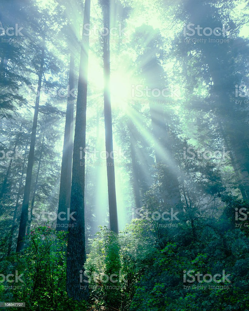 Foggy Light Rays In Redwood National Park stock photo