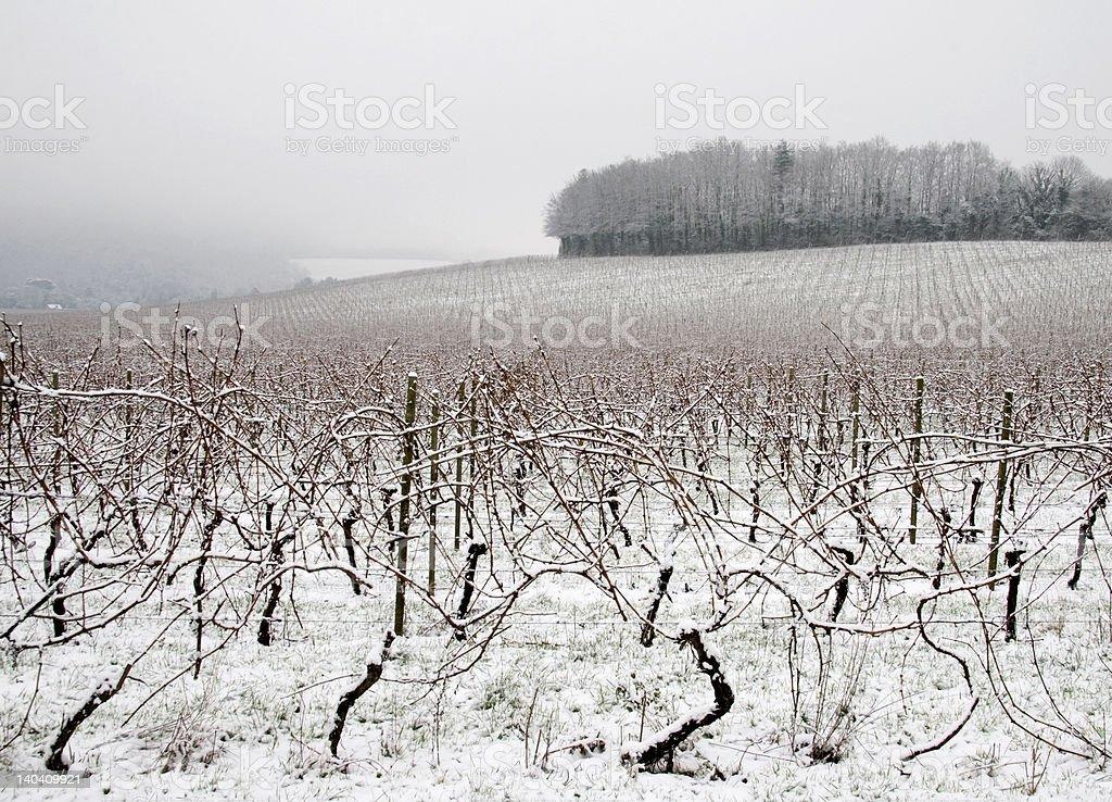 Foggy morning in vineyard royalty-free stock photo