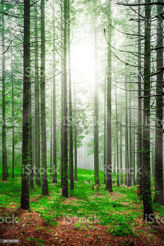 Foggy morning sunrise with sunlight in pine forest stock photo