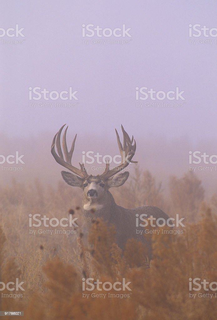 Foggy Mule Deer Buck stock photo