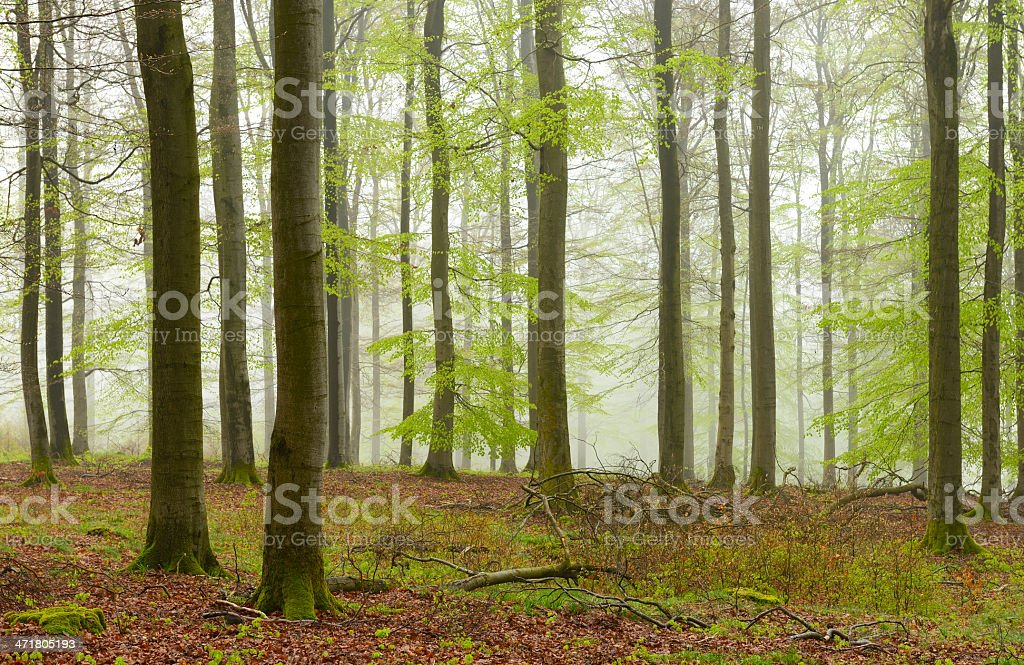 Foggy Natural Beech Tree Forest in Early Spring royalty-free stock photo