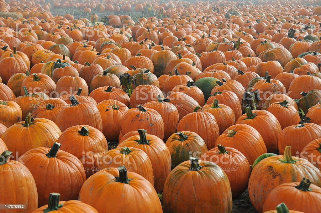 Foggy Pumpkin Patch stock photo