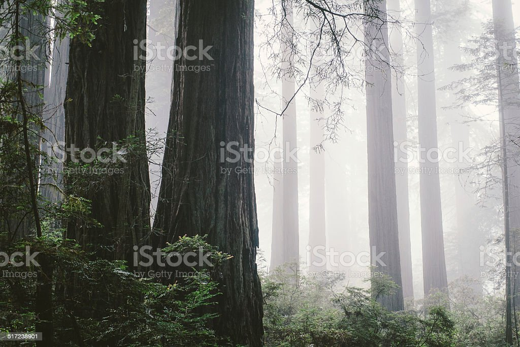 Foggy redwood forest in Northern Coast stock photo
