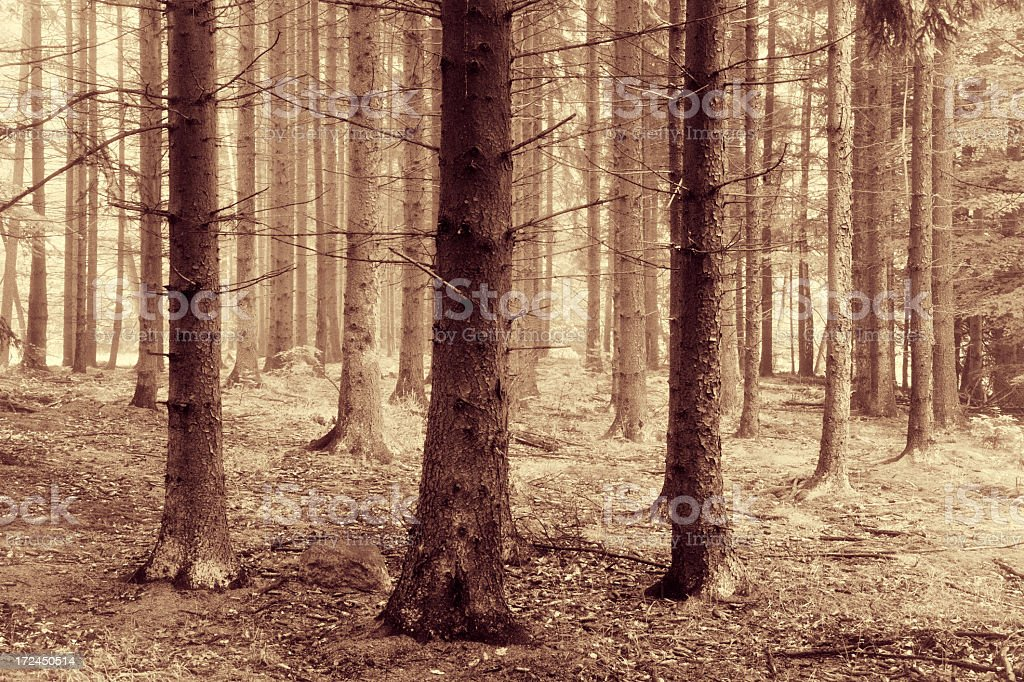 Foggy Spruce Tree Forest royalty-free stock photo