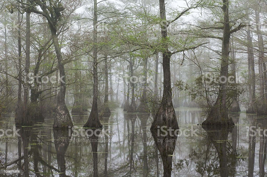 A foggy swamp with large cypress trees stock photo