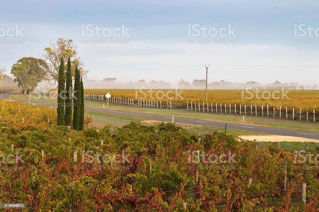 Foggy view of vineyard in morning in Coonawarra winery region stock photo