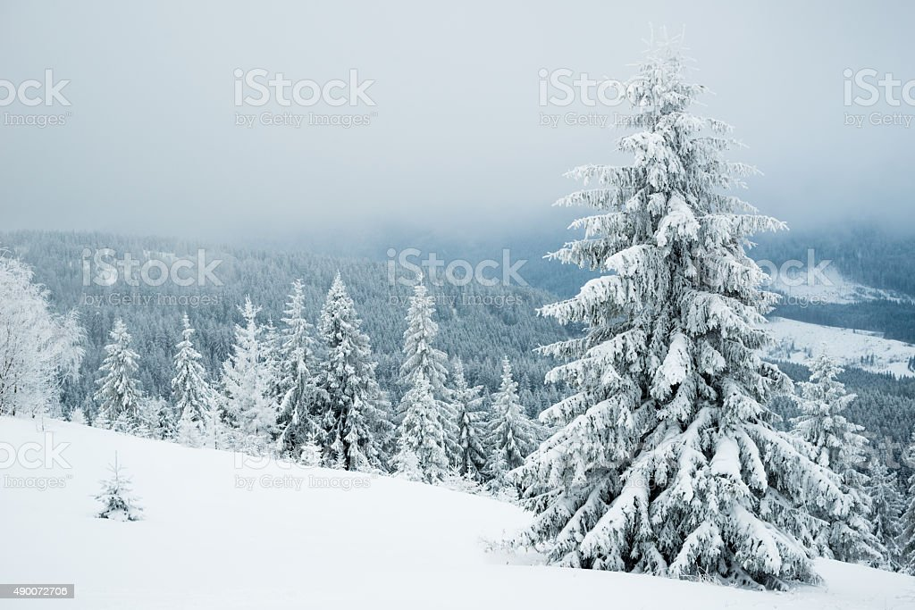 Foggy winter fir in the mountains stock photo