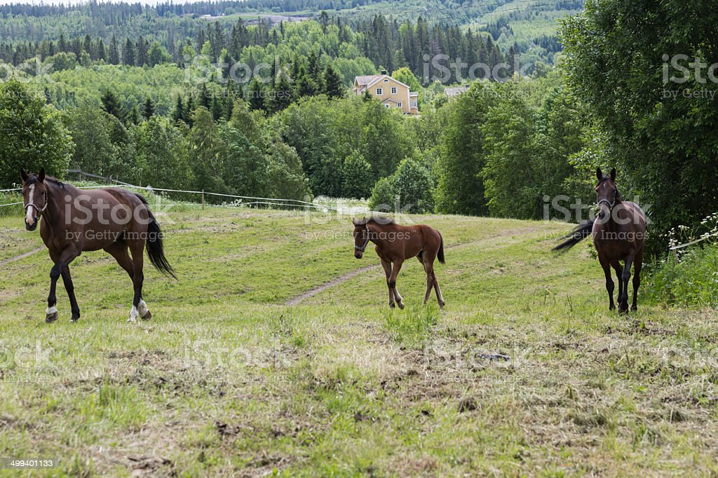 Fol and mature horses royalty-free stock photo