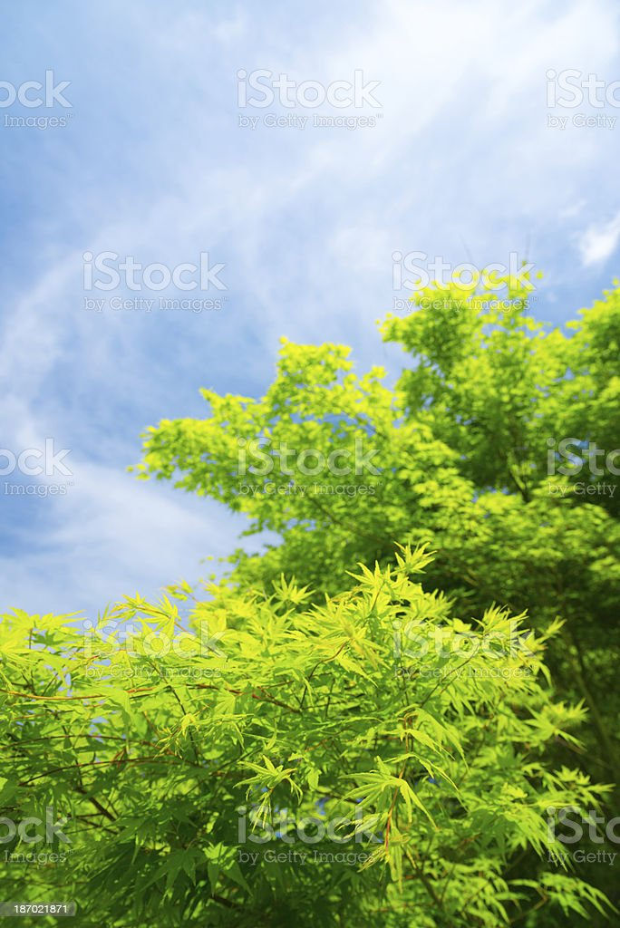 Foliage and Blue Sky - 36 Mpx royalty-free stock photo