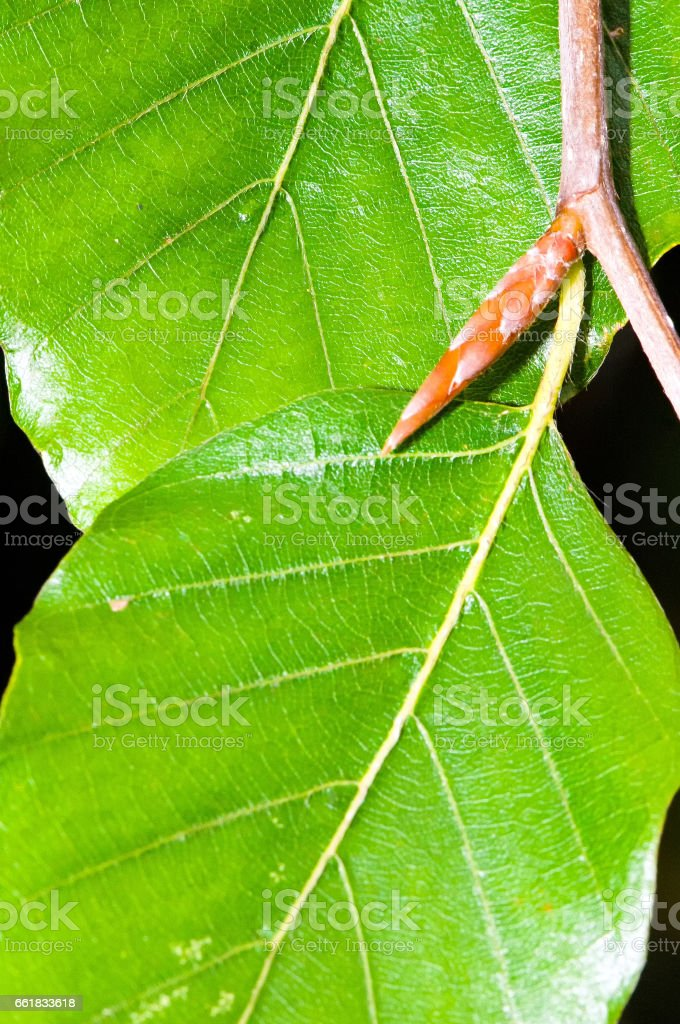 Foliage and bud of common beech stock photo