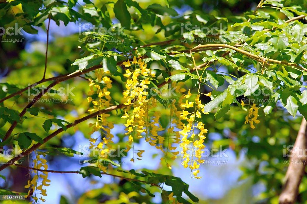 Foliage and flowers of common laburnum stock photo