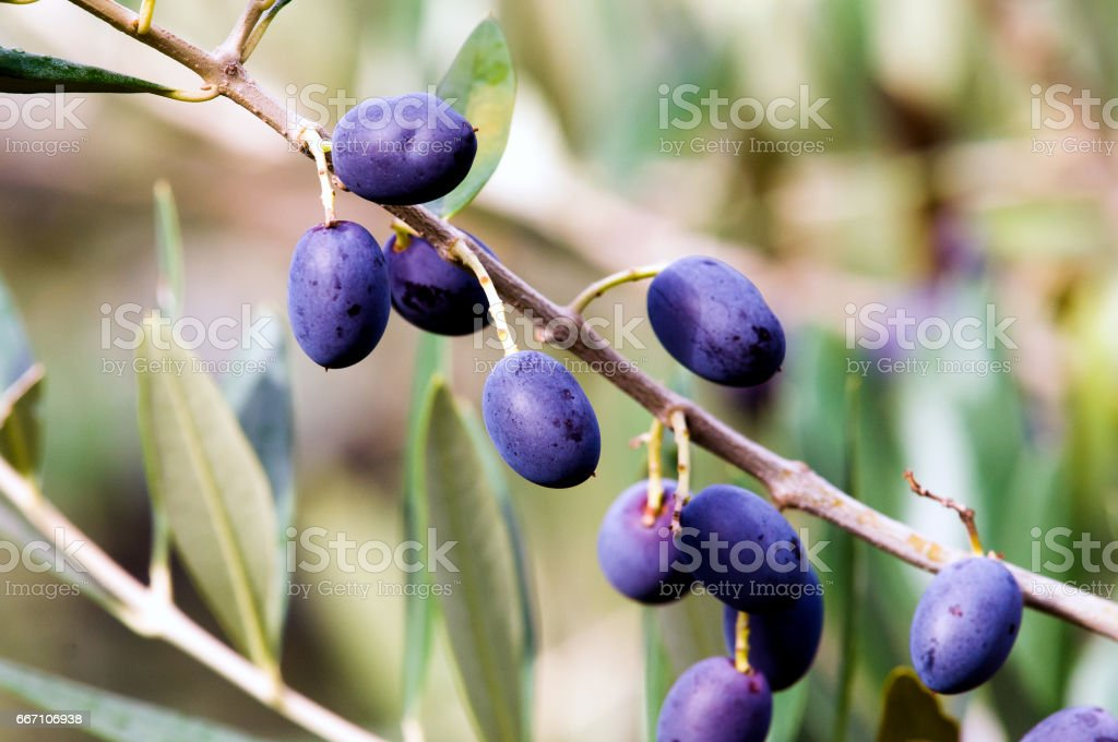 Foliage and fruits of olive tree stock photo