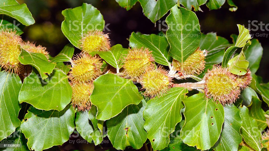 Foliage and nuts of common beech stock photo
