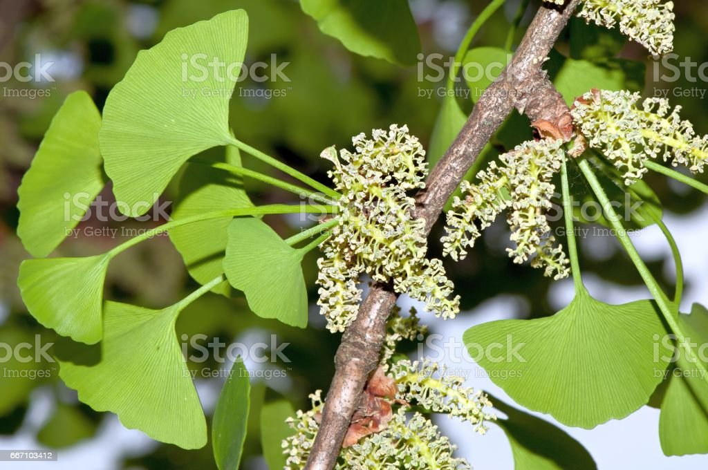 Foliage and pollen cones of male ginkgo stock photo