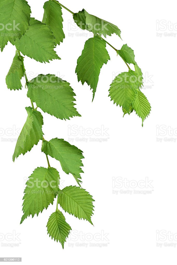 Foliage.  Elm tree with green leaves. Isolatedl stock photo