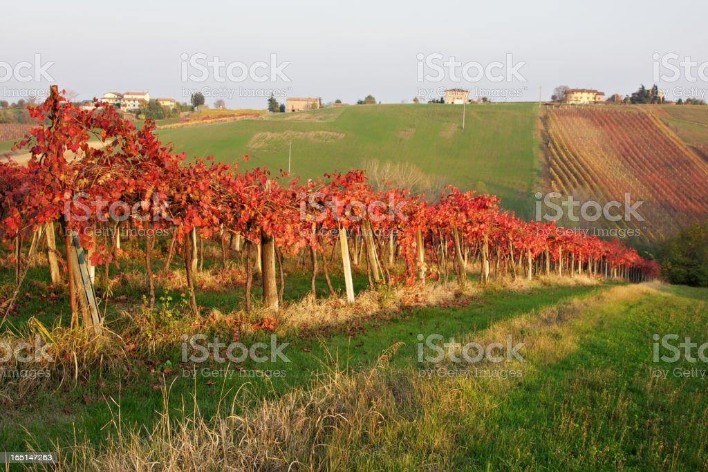 Foliage in Lambrusco vineyard. Castelvetro of Modena. Italy. royalty-free stock photo