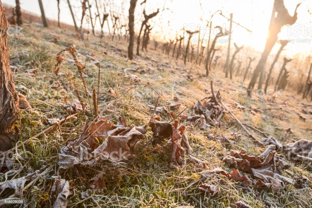 Foliage iwth frost in winter in a vineyard stock photo